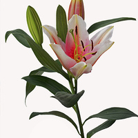 Buy canvas prints of  Beautiful pinkish Lily by Frank Irwin