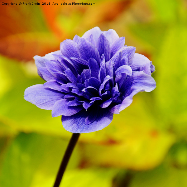 Anemone, growing in the wild Print by Frank Irwin