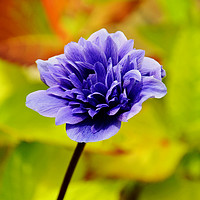 Buy canvas prints of Anemone, growing in the wild by Frank Irwin