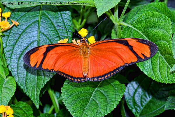 Caroni Flambeau (or Flame) butterfly Framed Mounted Print by Frank Irwin