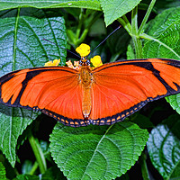 Buy canvas prints of Caroni Flambeau (or Flame) butterfly by Frank Irwin