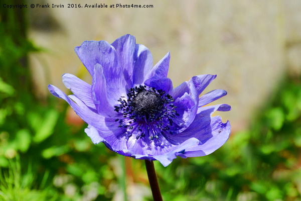Windswept little Anemone Print by Frank Irwin