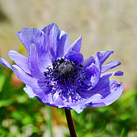 Buy canvas prints of Windswept little Anemone by Frank Irwin