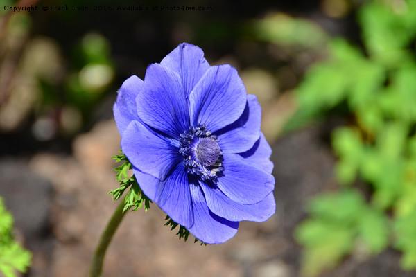 Beautiful blue Anemone Print by Frank Irwin