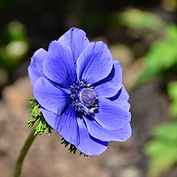 Buy canvas prints of Beautiful blue Anemone by Frank Irwin