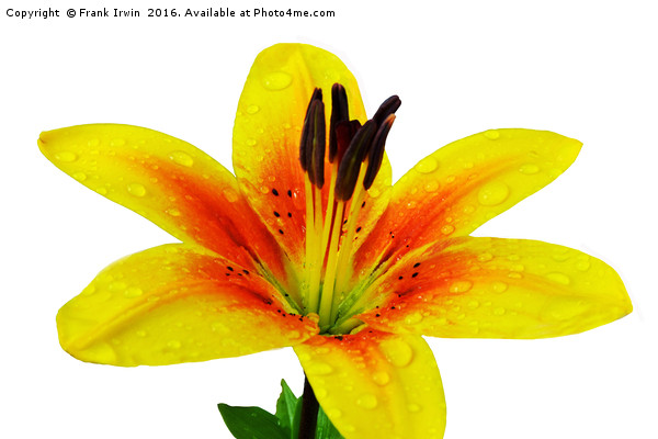 Beautiful Yellow Lily close up Canvas print by Frank Irwin