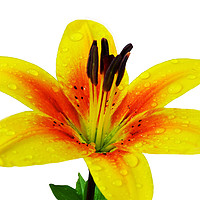 Buy canvas prints of Beautiful Yellow Lily close up by Frank Irwin