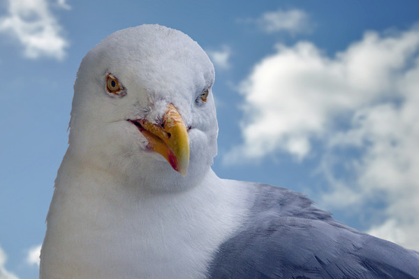 Seagull posing for me Print by Frank Irwin