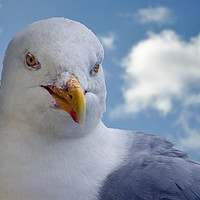 Buy canvas prints of Seagull posing for me by Frank Irwin
