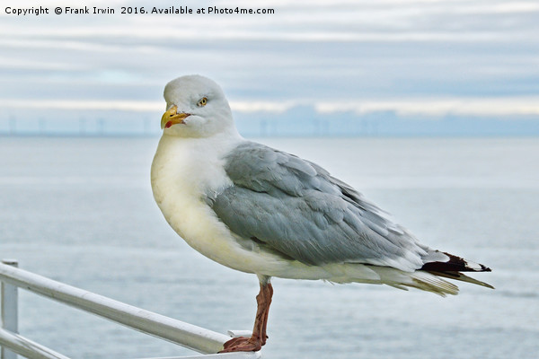 Seagull on high, posing for the camera Print by Frank Irwin