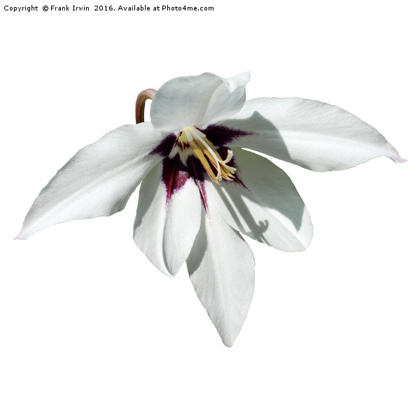 The beautiful White Peacock Orchid, Print by Frank Irwin