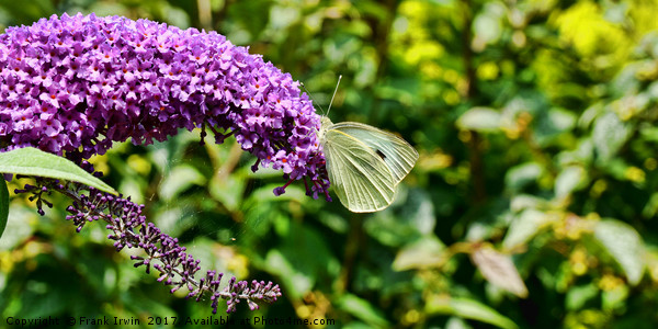 Buddleia & Green veined white Print by Frank Irwin