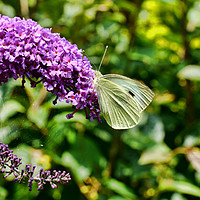 Buy canvas prints of Buddleia & Green veined white by Frank Irwin