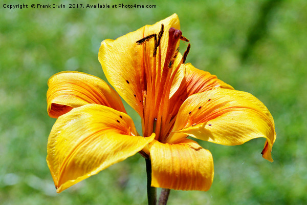 Yellow Lily in semi close-up Canvas print by Frank Irwin