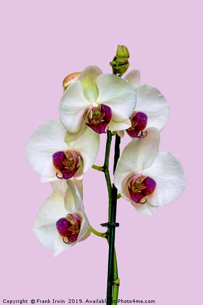 The Phalaenopsis or 'Moth Orchid'  Print by Frank Irwin