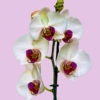 Buy canvas prints of The Phalaenopsis or 'Moth Orchid'  by Frank Irwin