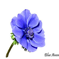 Buy canvas prints of Blue Anemone with designation by Frank Irwin