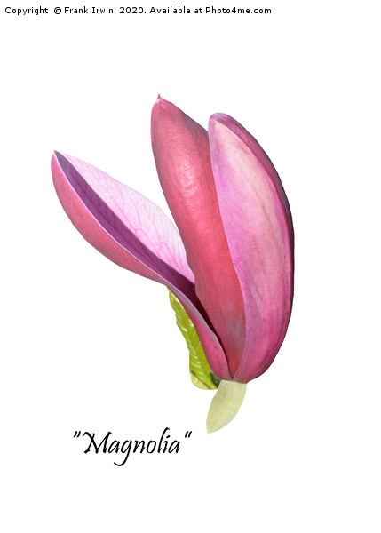 Flower from a beautiful Magnolia shrub. Acrylic by Frank Irwin