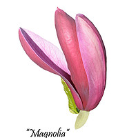 Buy canvas prints of Flower from a beautiful Magnolia shrub. by Frank Irwin