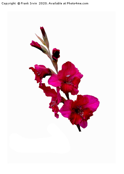 The Beautiful Red Gladioli aka (Sword Lily) Acrylic by Frank Irwin
