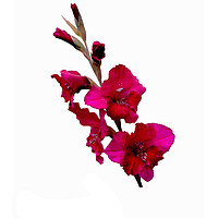 Buy canvas prints of The Beautiful Red Gladioli aka (Sword Lily) by Frank Irwin