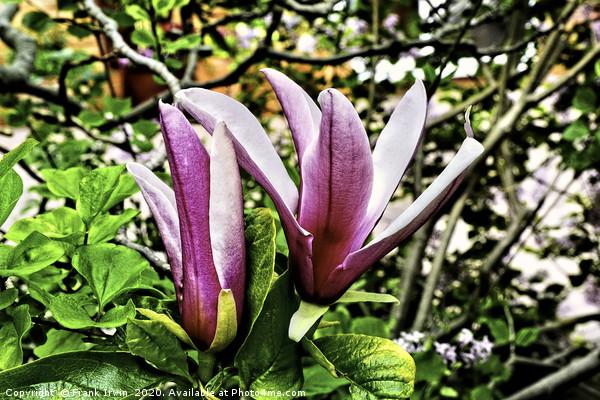 Flowers of the  beautiful magnolia shrub. Acrylic by Frank Irwin