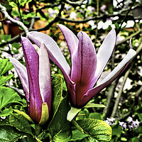 Buy canvas prints of Flowers of the  beautiful magnolia shrub. by Frank Irwin