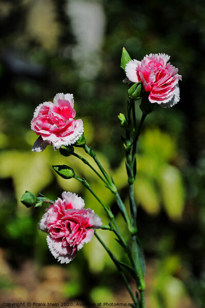 Carnations (Pinks) Acrylic by Frank Irwin