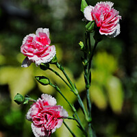 Buy canvas prints of Carnations (Pinks) by Frank Irwin
