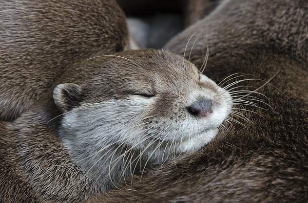 Otter sleeping Framed Mounted Print by Steev Stamford