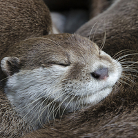 Buy canvas prints of Otter sleeping by Steev Stamford
