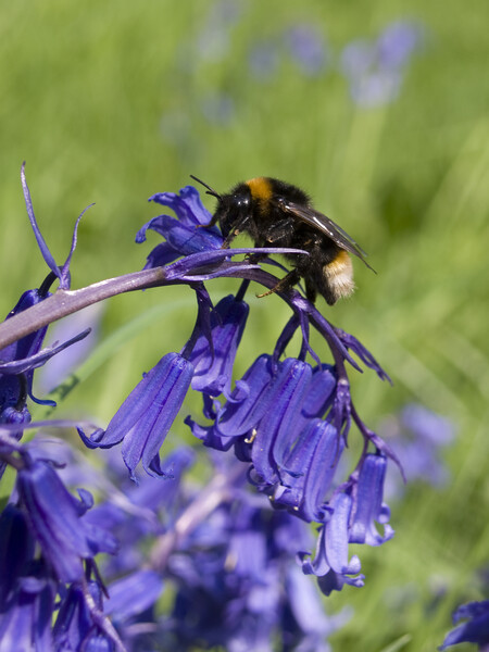Bee on bluebell Print by Steev Stamford