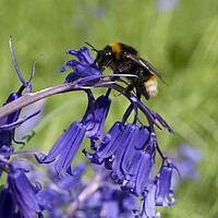 Buy canvas prints of Bee on bluebell by Steev Stamford