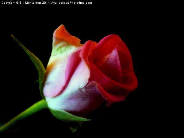The Rose Out Of Black Canvas print by Bill Lighterness