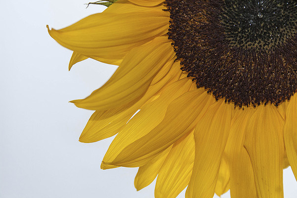 Sunflower Canvas print by Peter McCormack
