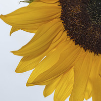 Buy canvas prints of Sunflower by Peter McCormack