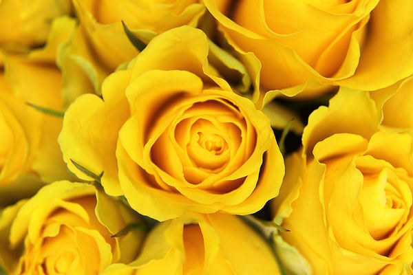 Yellow Roses Canvas Print by Paul Austen