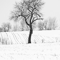 Buy canvas prints of Tree in Snow, Wisconsin, USA by Steven Ralser