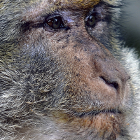 Buy canvas prints of Barbary Macaque by Les Parsons
