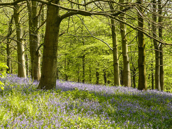 Bluebells in the Wood Print by Wendy Williams
