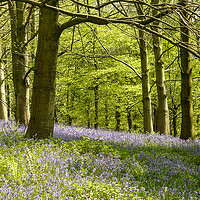 Buy canvas prints of Bluebells in the Wood by Wendy Williams