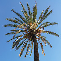 Buy canvas prints of crown of a palm tree by Marinela Feier