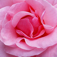 Buy canvas prints of Pink rose petals by Marinela Feier