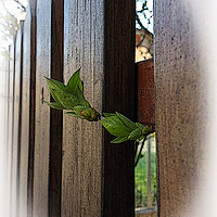 Buy canvas prints of outside the fence by Marinela Feier
