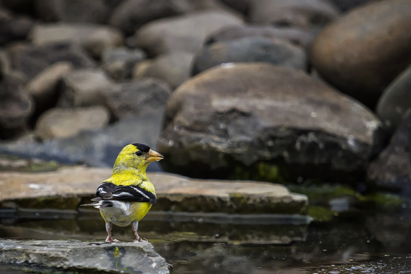 Male American Goldfinch Print by Belinda Greb