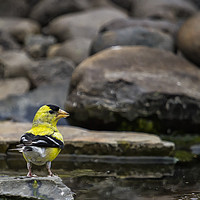 Buy canvas prints of Male American Goldfinch by Belinda Greb