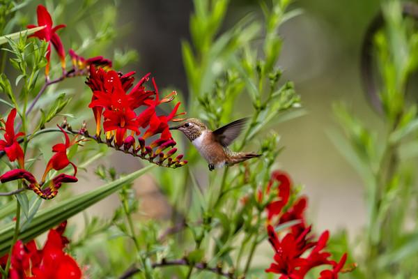 Rufous Hummingbird Feeding, No. 2 Canvas print by Belinda Greb