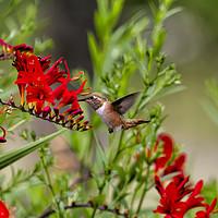 Buy canvas prints of Rufous Hummingbird Feeding, No. 2 by Belinda Greb