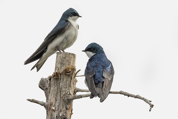 Tree Swallow times Two Canvas print by Belinda Greb