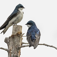 Buy canvas prints of Tree Swallow times Two by Belinda Greb